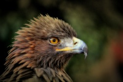 golden-eagle-627943_1920